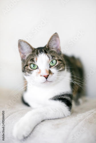 Canvas Print A brown and white tabby domestic shorthair cat in a relaxed pose