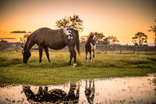 Appaloosa Mare And Foal