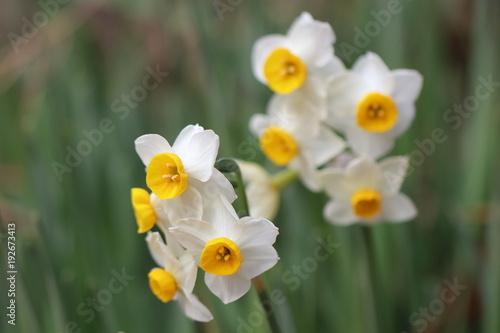 Papiers peints Narcisse Narcissus flower in Japan