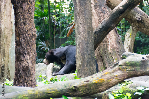 Canvas Prints Panther Sun bear while hiding in a forest looking for food. The sun bear is a bear found in tropical forest habitats of Southeast Asia