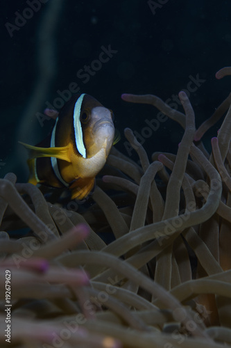 Fotografie, Tablou  Finding Nemo -  The Anemone Fish Swimming in Osezaki, Japan