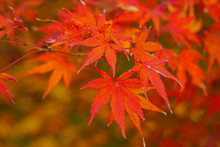 Colorful Maple Leaves (Momiji)...
