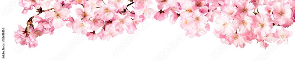 Fototapety, obrazy: Rosa Kirschblüten Freisteller Panorama auf weißem Hintergrund