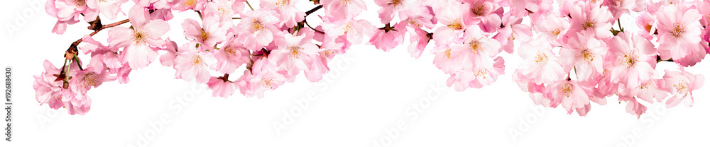 Obraz Rosa Kirschblüten Freisteller Panorama auf weißem Hintergrund fototapeta, plakat