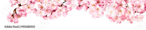 Fotografie, Obraz  Rosa Kirschblüten Freisteller Panorama auf weißem Hintergrund
