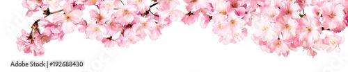 Foto op Aluminium Kersenbloesem Rosa Kirschblüten Freisteller Panorama auf weißem Hintergrund