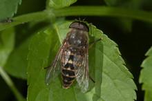 Male Horsefly (Tabanus Sudetic...