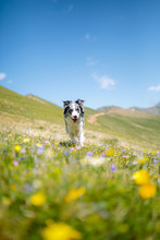 A Happy Dog Border Collie Running At The Camera At The Sun In The Mountains
