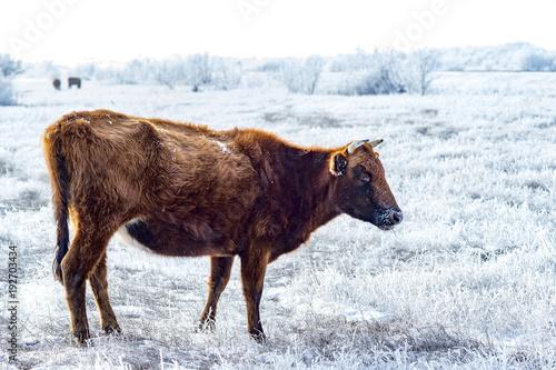 Fotografie, Obraz  The Kalmyk breed cows on pasture