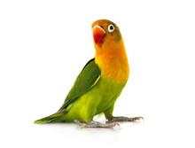 Fischeri Lovebird