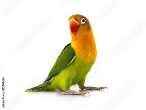 fischeri lovebird Fototapeta