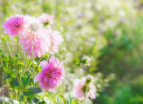 In de dag Dahlia Beautiful pink dahlia flowers in summer garden, outdoor nature