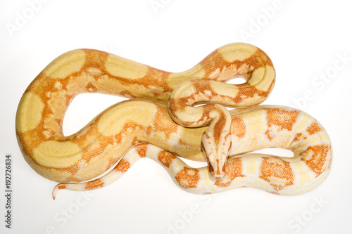 Photo Albino Boa / Abgottschlange (Boa constrictor) - red-tailed boa