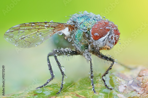 Foto op Aluminium Macrofotografie Sharp and detailed photo of Fly (Lucilia Spp. ) with morning dew