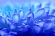 Chrysanthemum Petals Background