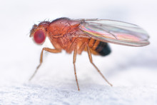 Drosophila Melanogaster Fruit Fly Extreme Close Up Macro