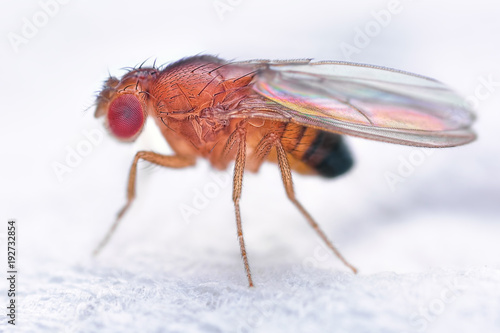 Drosophila melanogaster fruit fly extreme close up macro Canvas-taulu