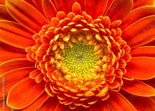Goldy daisy face