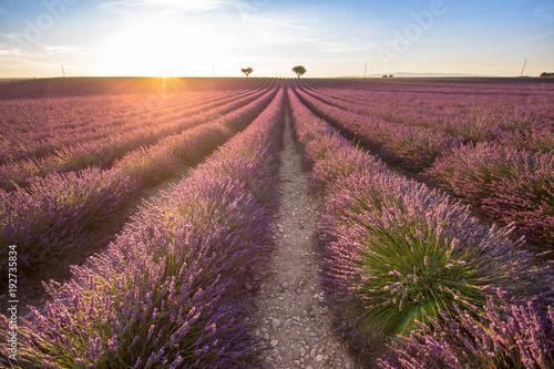 Fotobehang Cultuur Big lavender field on sunset
