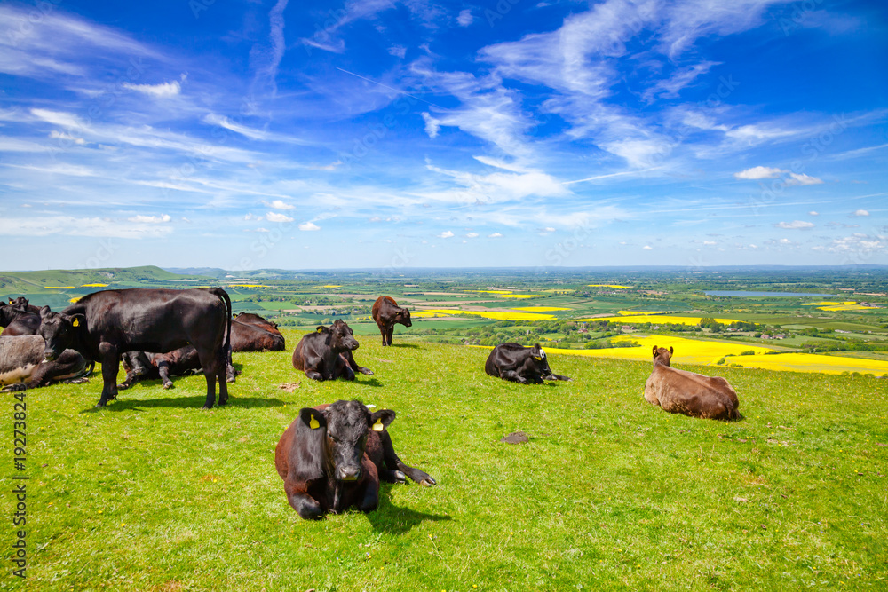 Fototapeta English rural landscape in with grazing Aberdeen Angus beef cattle