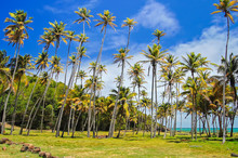 Tall Growing Palm Trees Coast ...