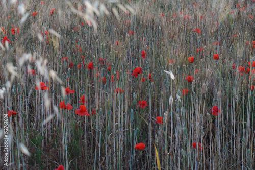 Staande foto Rood, zwart, wit Poppies in a field of wheat - Italy