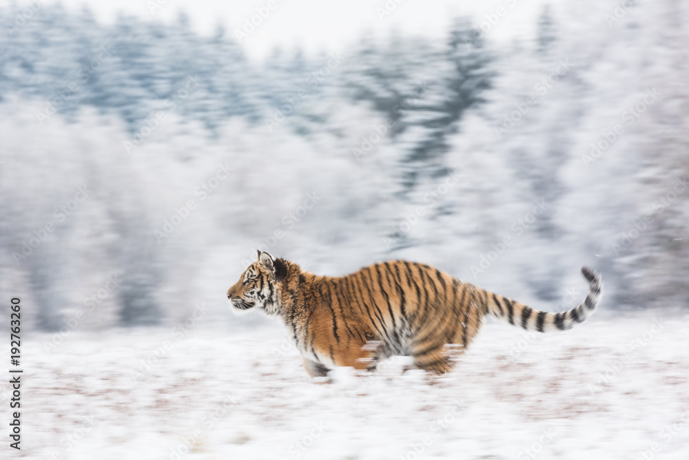 Young Siberian tiger running across snow fields