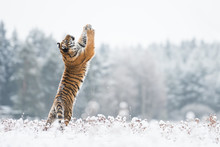 Young Siberian Tiger Playing With Snow