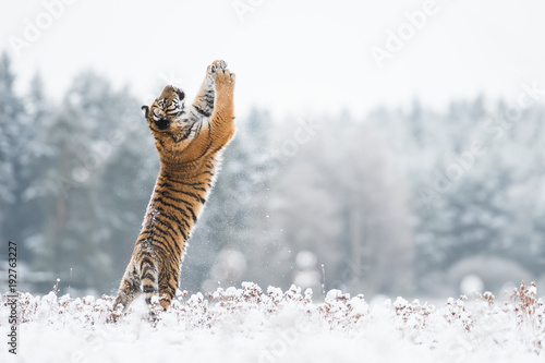 Spoed Foto op Canvas Tijger Young Siberian tiger playing with snow