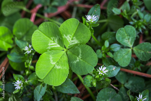 Horizontal photo of a bright green four leaf clover with small white flowers on Poster