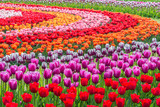 Tulips in a field garden arranged in a pattern of concentric circles of varying colors. Shallow depth of field.