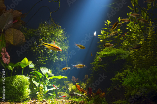 Foto Green planted large tropical fresh water aquarium with small fishes in low key
