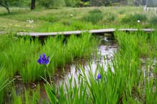 Iris Laevigata-4