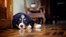Tender Bernese Mountain Dog Pu...
