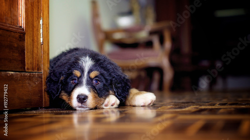 Tender bernese mountain dog puppy lying on the floor Wallpaper Mural