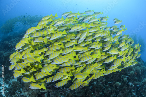 Photo Aggregation of Yellow Fish in Blue Waters of Maldives