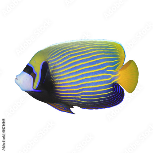 Photo Emperor Angelfish tropical fish isolated on white background