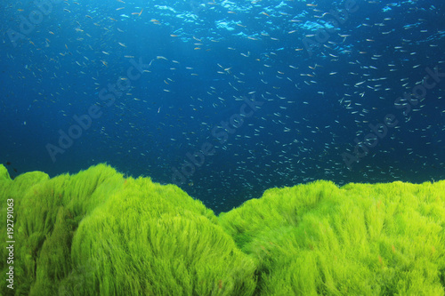 Underwater green algae in blue ocean