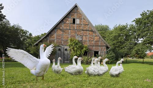 Gänse auf dem Bauernhof