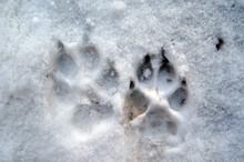 Shepherd Footprints At The Snow
