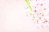 Spring blossom/springtime cherry bloom, toned, pink flowers background, pastel and soft floral card, toned