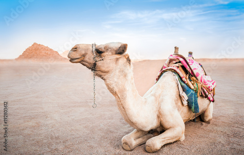 Egyptian camel with a saddle in the desert Canvas-taulu