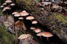 Cluster Of Wild Mushrooms Grow...