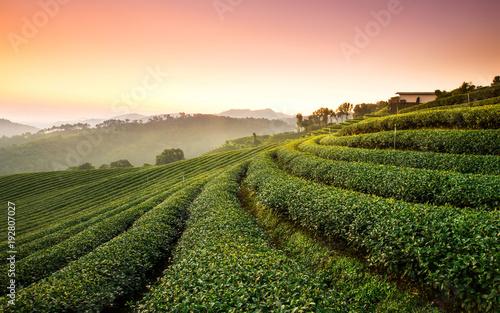 Tea Plantation Click Wallpaper Mural
