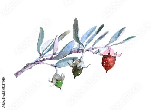 Valokuva  Jojoba plant Watercolor illustration isolated on white background
