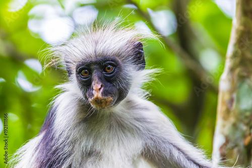 Poster Zanzibar Zanzibar red colobus monkey. Zazibar, Tanzania.