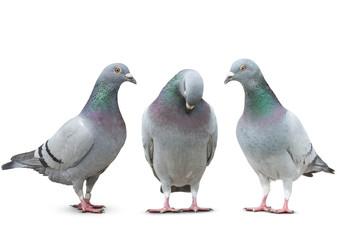 trhee pigeon bird friend sad story on white background