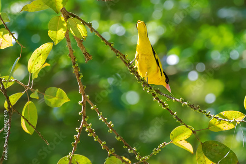 In de dag Toekan Black-naped oriole bird in yellow with pink bill,s perching on tree branch in Thailand, Asia