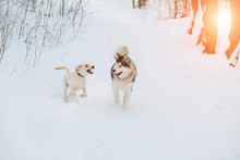 Two Dogs Playing In Winter Park. Gold Retriever And Alaskan Malamute Running Outdoor In Snow Forest. Sun Glare Effect.