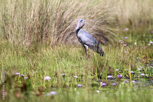 duży szary afrykański ptak trzewikodziób brodzący po zarośniętym trawą brzegu jeziora